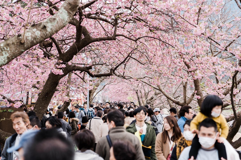 河津桜まつりの様子3