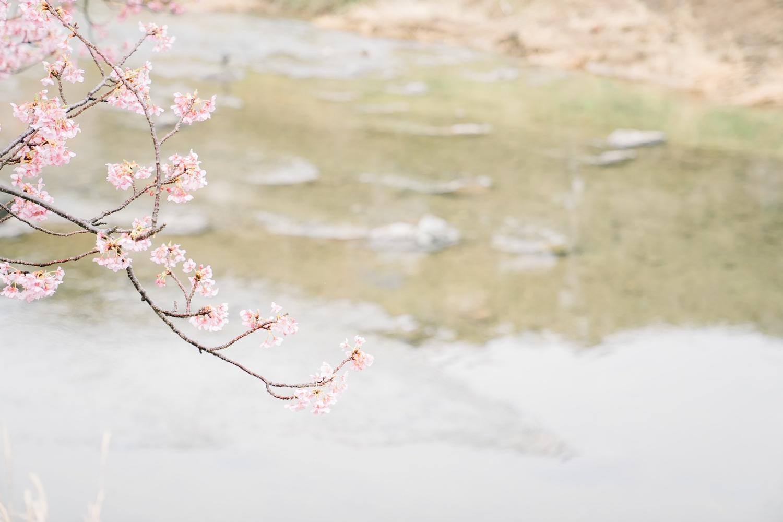 河津桜まつりの様子2