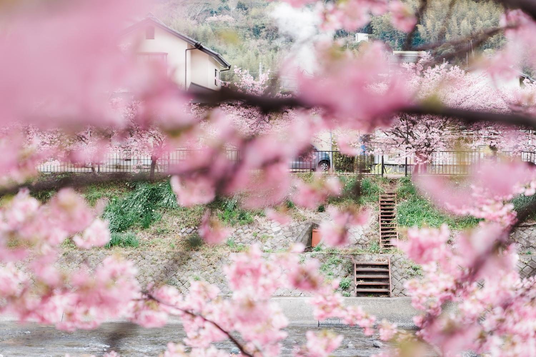 河津桜まつりの様子16