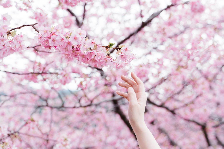 河津桜まつりの様子24