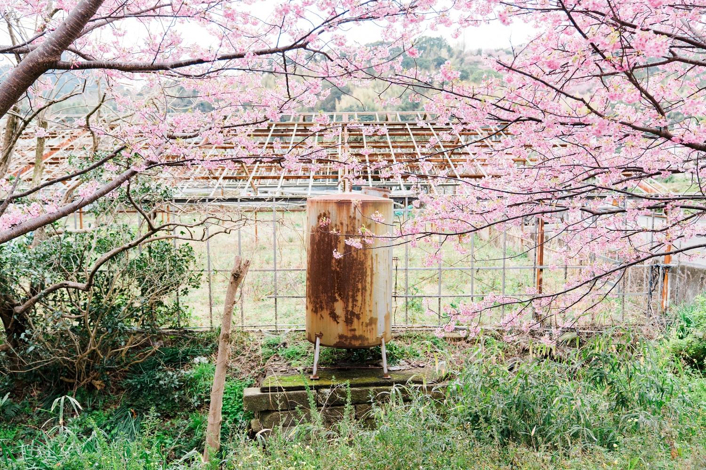 河津桜まつりの様子22