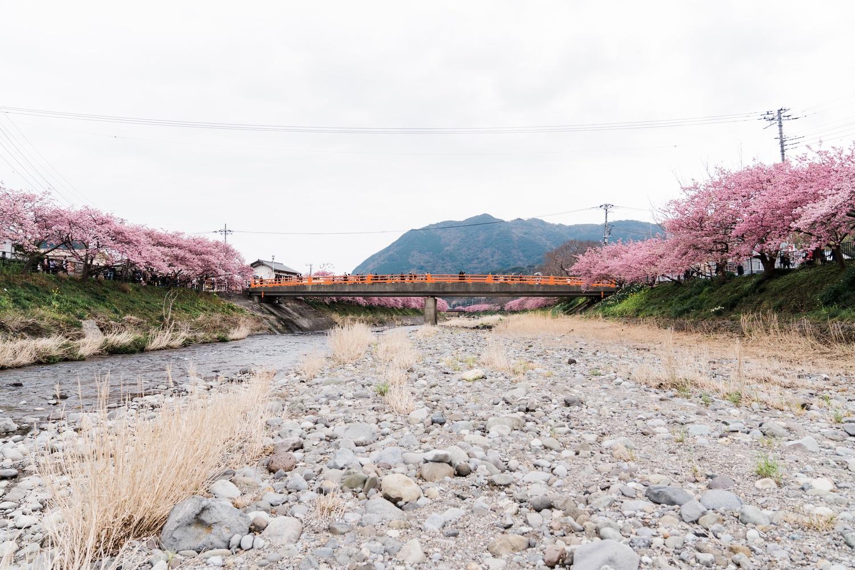 河津桜まつりの様子14