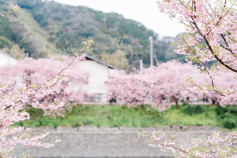 河津桜まつりの様子25