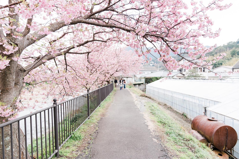 河津桜まつりの様子23