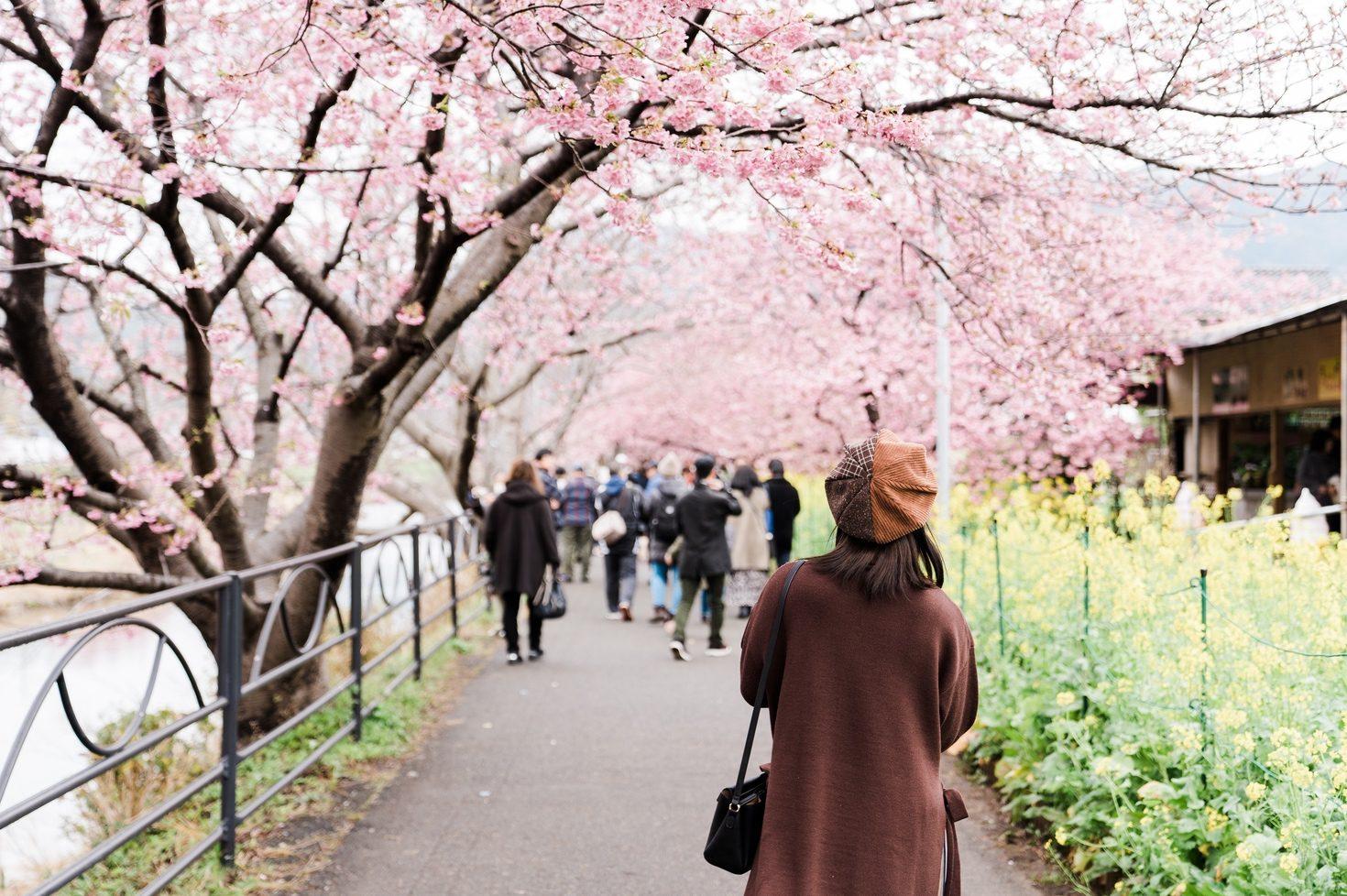 河津桜まつりの様子1